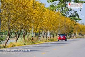 <b>ขับรถชมเส้นทางเหลืองเชียงราย เลียบคลอง 13 ปทุมธานี</b>
