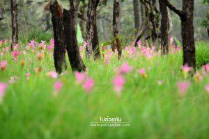 ทุ่งดอกกระเจียวป่าหินงาม